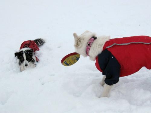雪の中の ホワイトスイスシェパード ビオラ と ボーダーコリー メル①