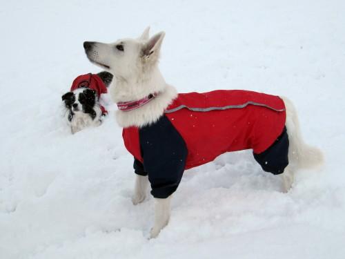 雪の中の ホワイトスイスシェパード ビオラ と ボーダーコリー メル②