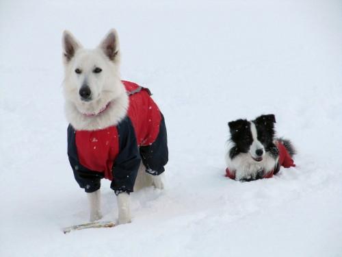 雪の中の ホワイトスイスシェパード ビオラ と ボーダーコリー メル③