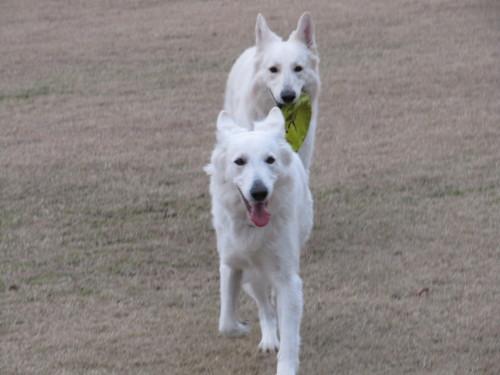 フリスビーで遊ぶ ホワイトスイスシェパード ビオラ と ヴァルター