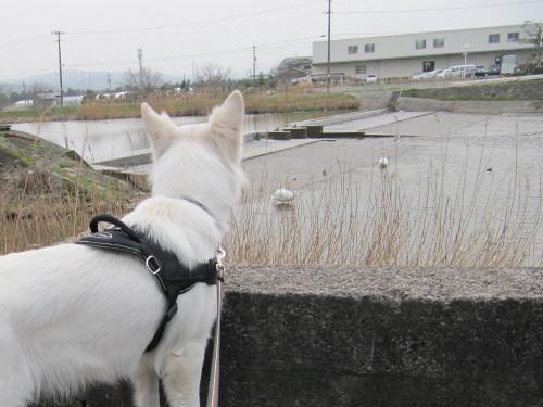 白鳥を眺める ホワイトスイスシェパード ビオラ