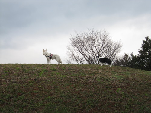 丘の上のホワイトスイスシェパード ビオラ と ボーダーコリー メル