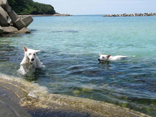 海で泳ぐホワイトスイスシェパード タキオンとビオラ①