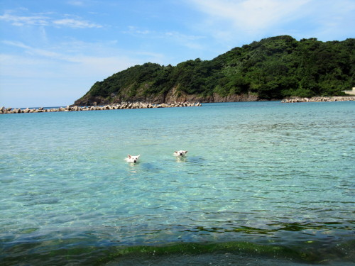 海で泳ぐホワイトスイスシェパード タキオンとビオラ②