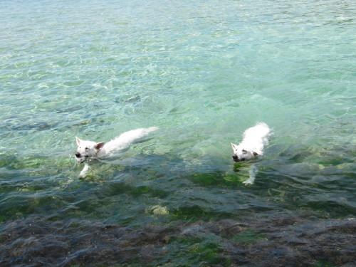 海で泳ぐホワイトスイスシェパード タキオンとビオラ③