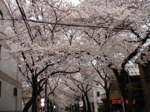 田向公園の通りの桜1