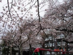 田向公園の桜