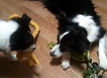 カーラとおもちゃのとりっこ