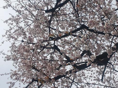 大学の桜の木