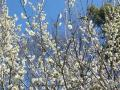 2011年2月26日梅の花 とうぐいす