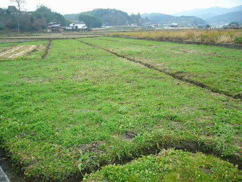 2011年12月15日宇津戸の小麦 (6)