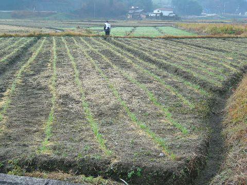 2011年12月15日宇津戸の小麦 (4)