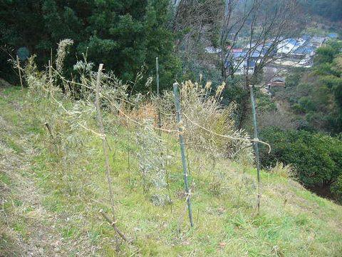2012年2月5日えんどう豆の支柱立 (2)