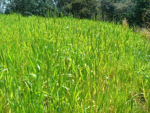 2012年4月12日 小麦