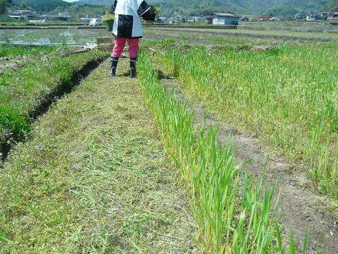 2012年4月28日陸稲 (5)