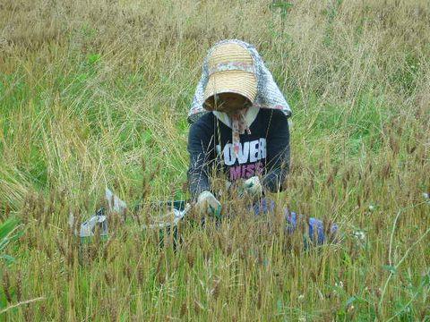 2012年6月18日宇津戸小麦の収穫 (7)