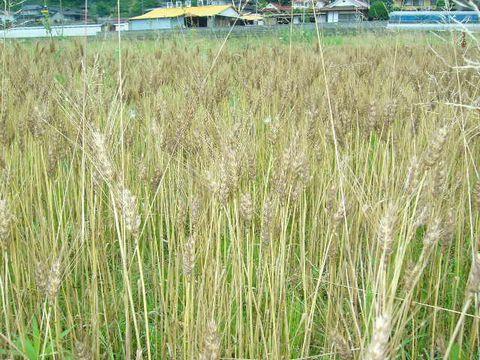 2012年6月18日宇津戸小麦の収穫 (4)
