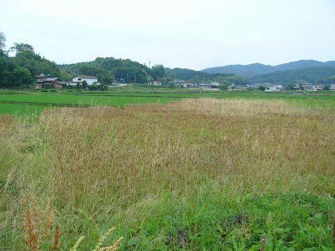 2012年6月18日宇津戸小麦の収穫 (2)