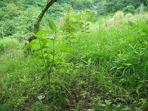 2012年7月6日 菊芋