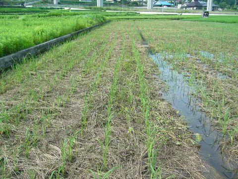 2012年7月15日世羅の田んぼ (4)