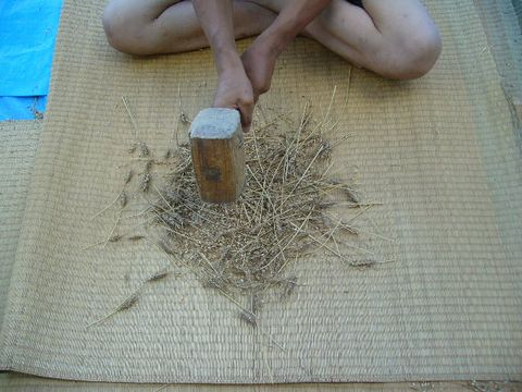 2012年8月2日小麦 (2)
