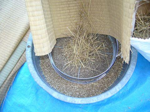 2012年8月2日小麦 (5)