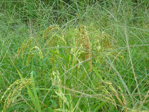 2012年9月9日世羅の田んぼ 陸稲