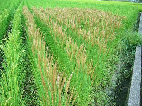 2012年9月9日世羅の田んぼ 赤米
