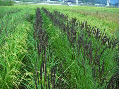 2012年9月19日 世羅の田んぼ緑米