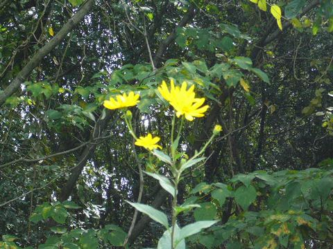 2012年9月24日 菊芋