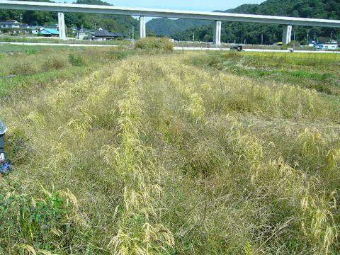 2012年10月13日陸稲稲刈り (8)