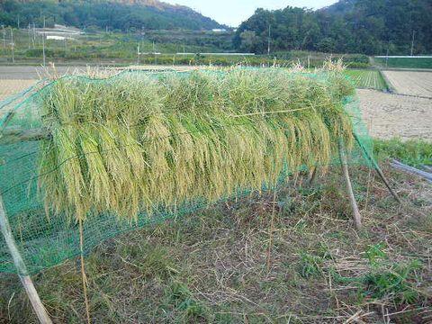 2012年10月13日陸稲稲刈り (17)