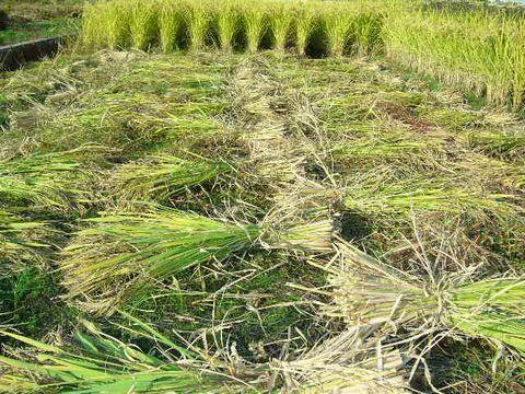 2012年10月22日黒米の稲刈り (8)