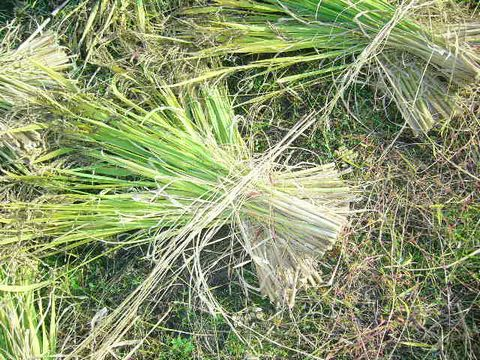 2012年10月22日黒米の稲刈り (6)