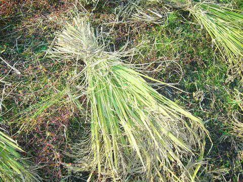 2012年10月22日黒米の稲刈り (7)