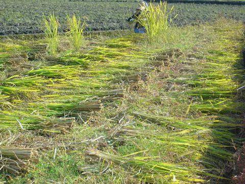 2012年10月22日黒米の稲刈り (5)
