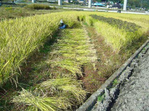 2012年10月22日黒米の稲刈り (3)