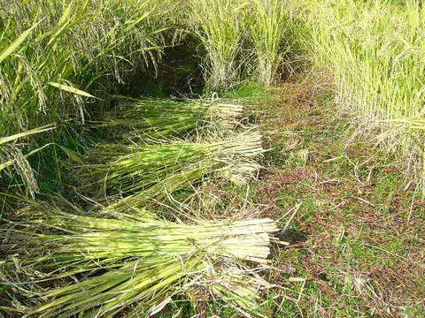 2012年10月22日黒米の稲刈り (1)