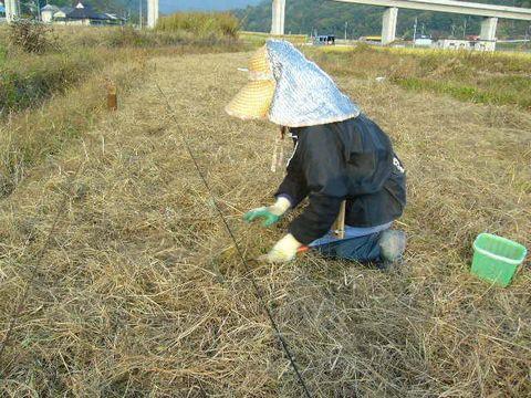 2012年10月30日世羅小麦条播き (3)