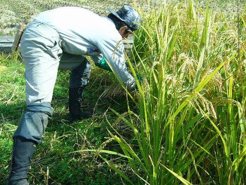 2012年11月2日稲刈り (13)