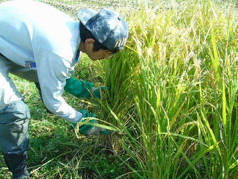 2012年11月2日稲刈り (11)