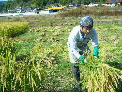 2012年11月2日稲刈り (17)
