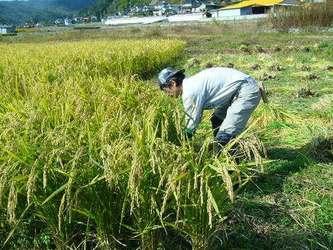 2012年11月2日稲刈り (15)