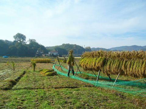 2012年11月4日世羅稲刈り (2)