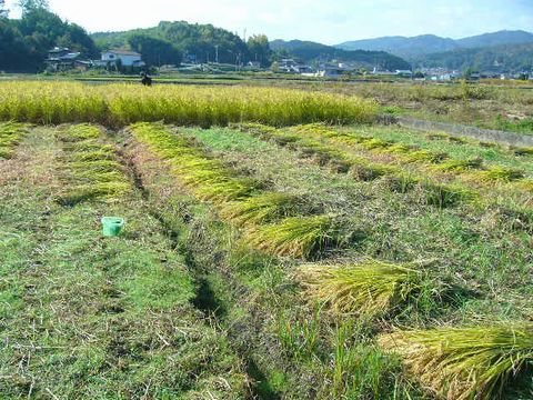 2012年11月3日世羅稲刈り (9)