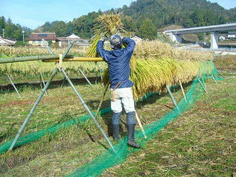 2012年11月4日世羅稲刈り (4)