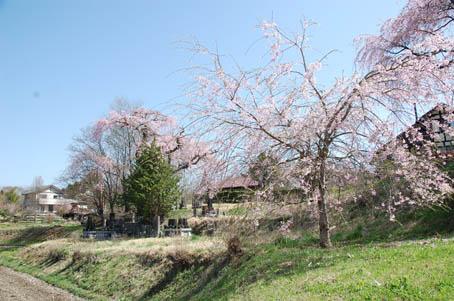 takamorisakura2.jpg
