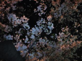 健太郎と花見1004-2