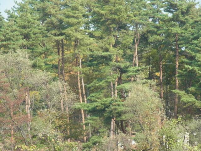 sアカマツ林