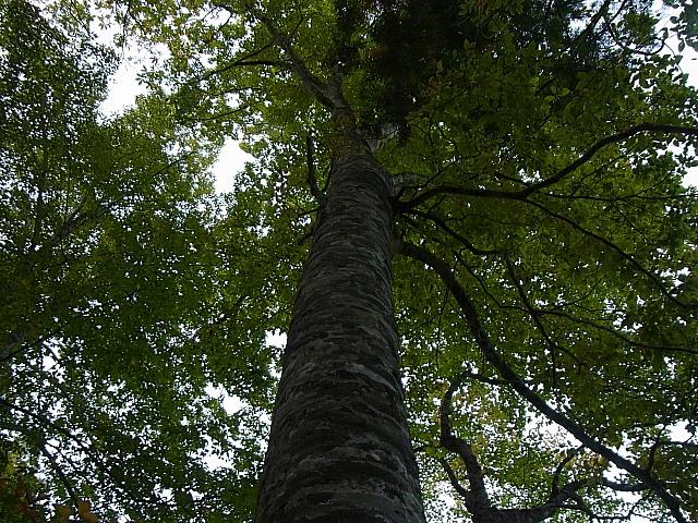sブナ大木